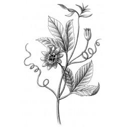 Passiflore plantes fraîches Bio