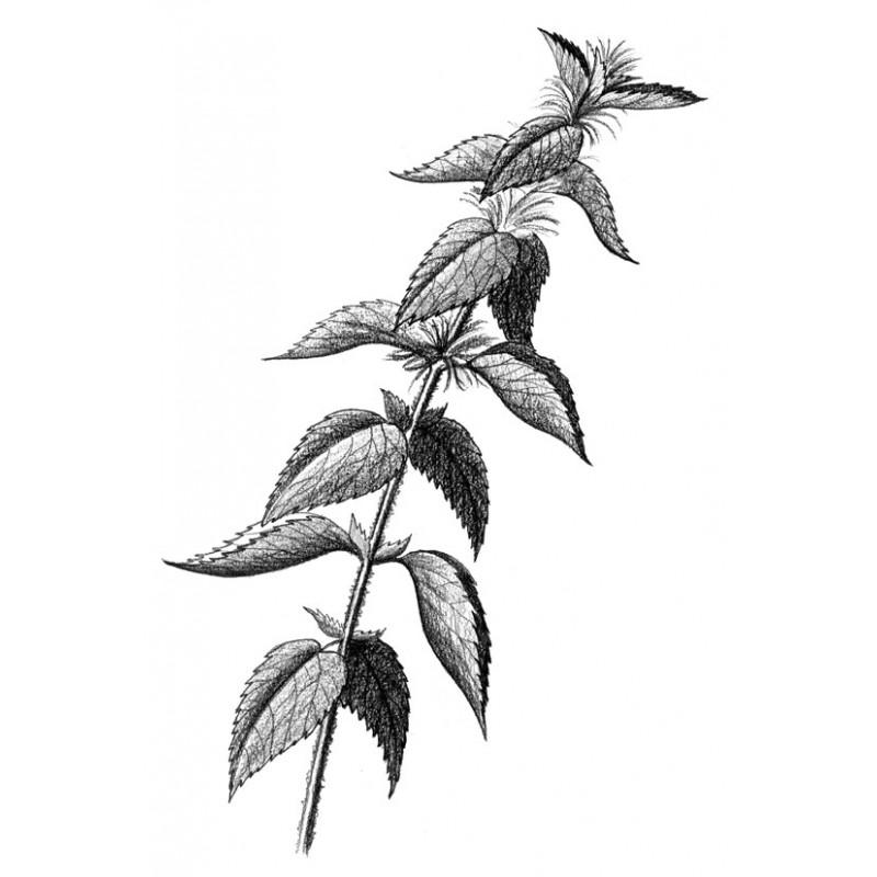 Ortie plantes fraîches Bio