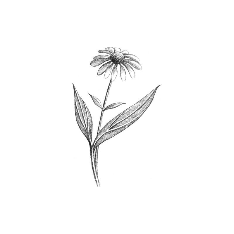 Echinacee bio